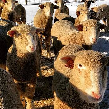 do 'ewe' Have Any Grain?! by Carly Barone
