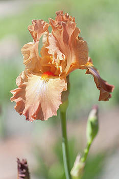 Dodge City 1. The Beauty of Irises by Jenny Rainbow