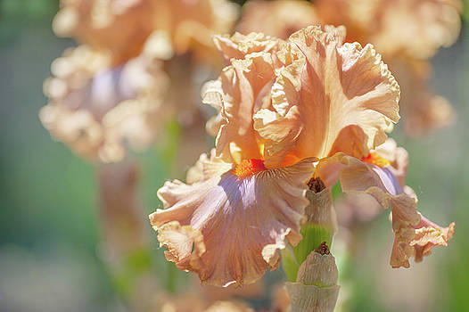 Dodge City 2. The Beauty of Irises by Jenny Rainbow