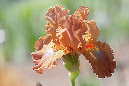 Dodge City Close Up. The Beauty of Irises by Jenny Rainbow