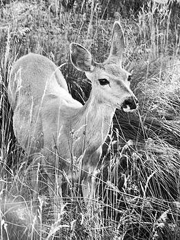 Doe Grazing by Pacific Northwest Imagery