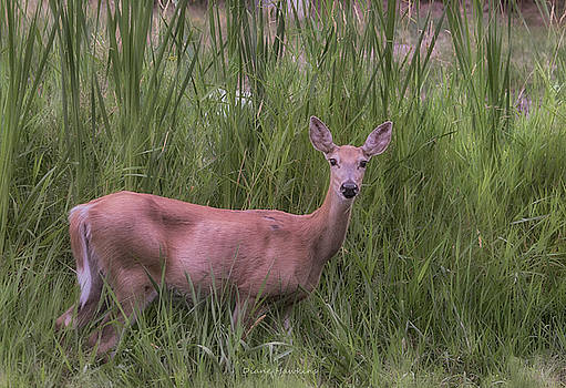 Doe in summer by Diane Hawkins