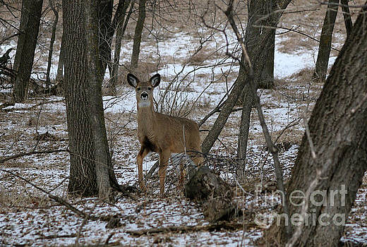 Doe in the trees by Lori Tordsen