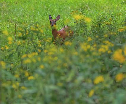 Doe In Yellow Wildflowers by Dan Sproul