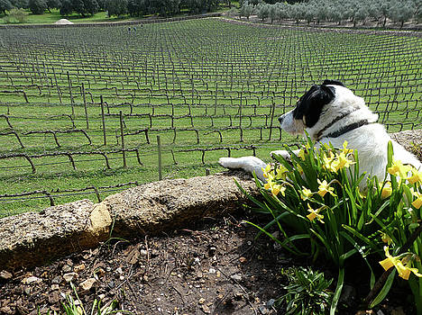 Dog Watching Workers in Grape Vines by Marcia Socolik