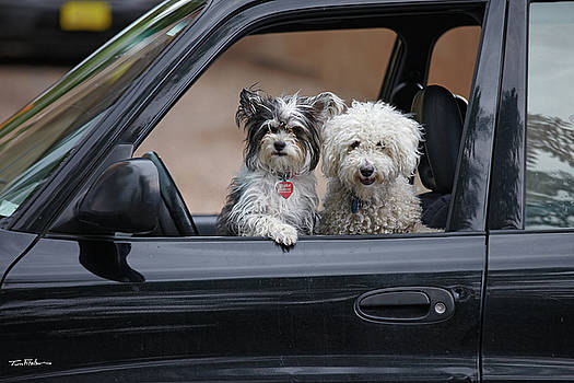 Dogs at car window by Tim Fitzharris