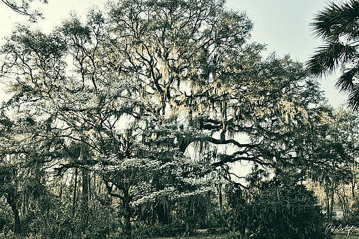 Dogwood And Oak by Phill Doherty