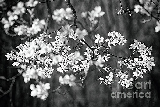 Dogwood Bloom in Black and White by George Oze