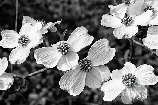 Jill Lang - Dogwood Blooms in Black and White