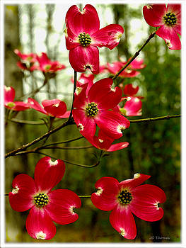 Dogwood Blooms In The Spring by James C Thomas