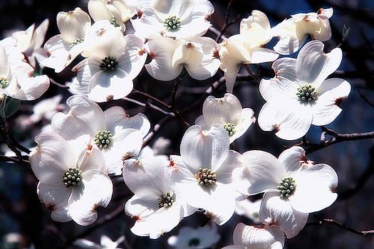 Jill Lang - Dogwood Blooms