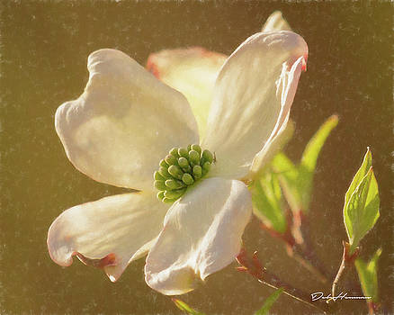 Dogwood Blossom in Spring by Deb Henman