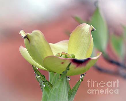Dogwood Blossom by Kerri Farley