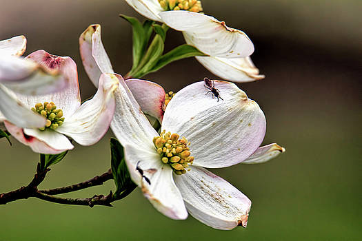 Dogwood blossoms at Rutgers University in spring by Geraldine Scull