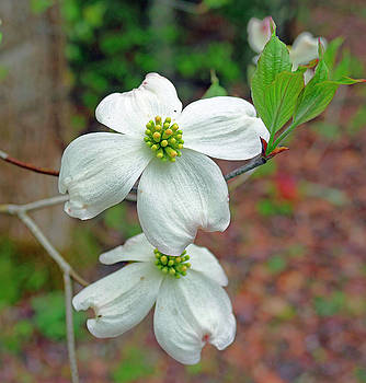Dogwood Blossoms by David Frankel