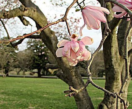 Dogwood blossoms by Joseph Ferguson