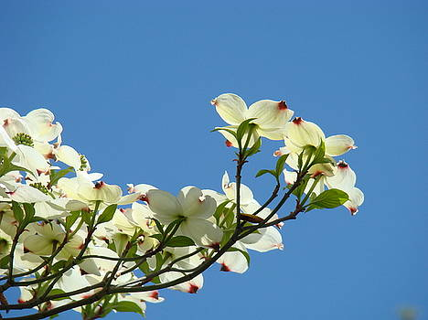 Baslee Troutman - DOGWOOD FLOWERS Art Prints White Flowering Dogwood Tree Baslee Troutman