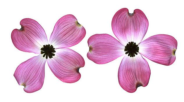 Dogwood Flowers by Tony Cordoza