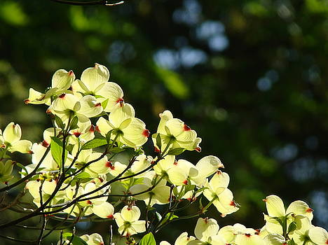 Baslee Troutman - DOGWOOD FLOWERS White Dogwood Tree Flowers Art Prints Cards Baslee Troutman