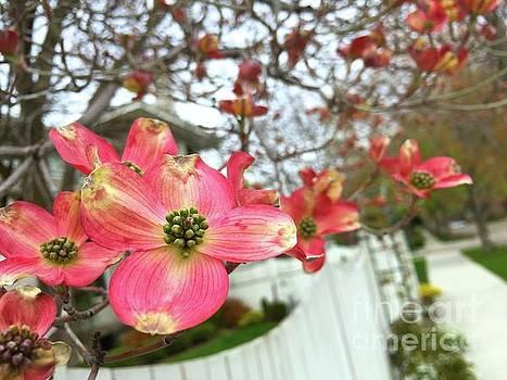 Dogwood flowers by Wonju Hulse