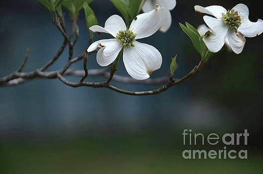 Dogwood In Blue by Diana Mary Sharpton