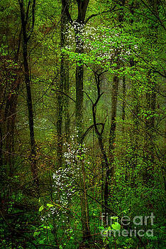 Dogwood in the Forest by Thomas R Fletcher