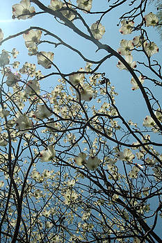 Dogwood Skies by Trish Hale