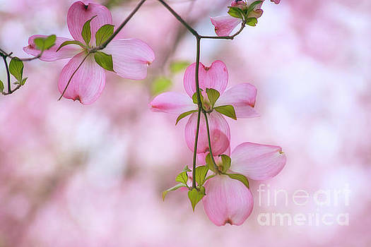 Dogwood sunset by Rima Biswas