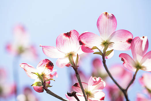 Dogwood Tree Blooms and Sky in Springtime by Carol Mellema