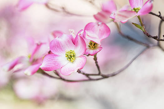 Dogwood Tree Blooms in Springtime in Tennessee by Carol Mellema