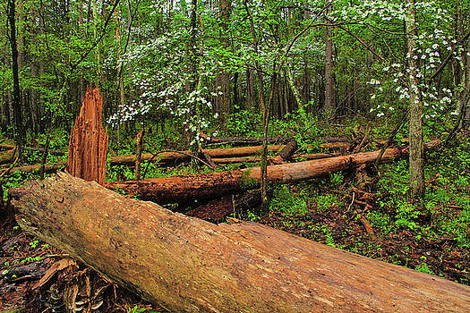 Dogwoods and Fallen Trees In the Forest by Greg Matchick