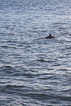 Dolphin by Carol Turner