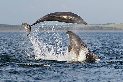 Dolphins having Fun by Karen Van Der Zijden