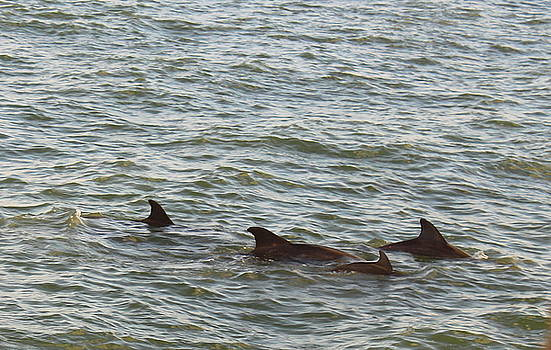 Dolphin Pod in the Gulf by Carol Turner
