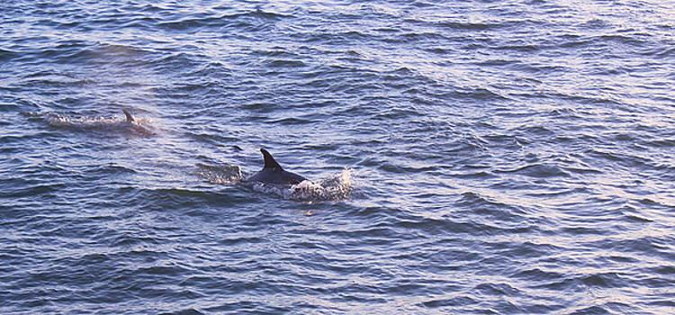 Dolphins by Carol Turner