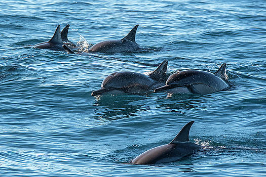 Dolphins Swimming In Maui by Matt McDonald