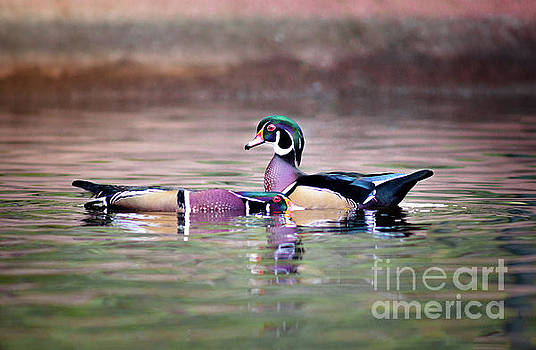 Dominant Wood Duck by Robert Frederick