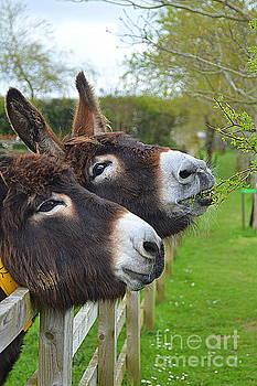 Donkeys by Andy Thompson