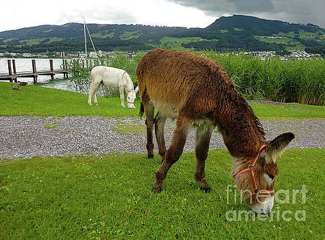 Gregory Dyer - Donkeys on Ufrenau Island, Switzerland