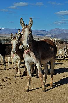 Donkeys by SoxyGal Photography
