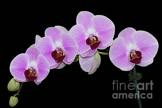 Doritaenopsis City Girl Orchids #3 by Judy Whitton