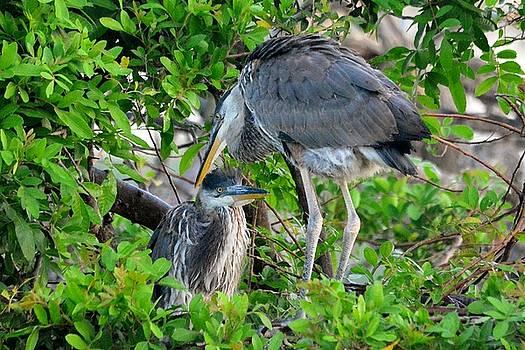 Patricia Twardzik - Doting Great Blue Heron