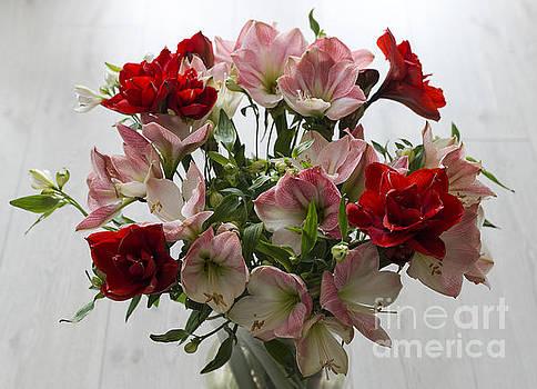 Compuinfoto   - double amaryllis flowers