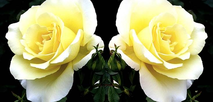Double Cream Roses by Will Borden