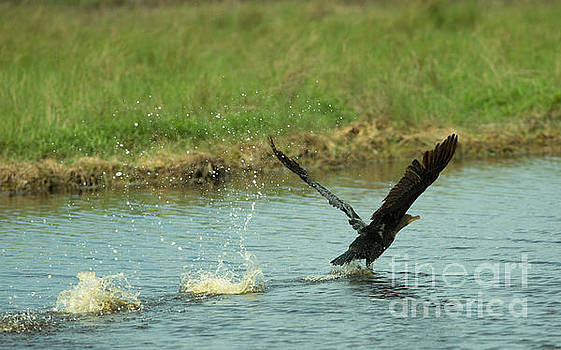 Double-crested Cormorant Take Off by Natural Focal Point Photography