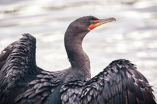Double-crested Cormorant by Windy Corduroy