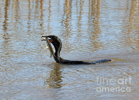 Double Crested Cormorant with Florida Gar by Louise Heusinkveld