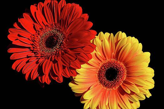 Double Daisy by Sandi Kroll
