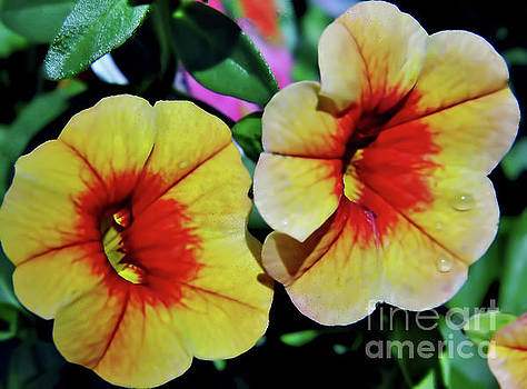 Double Petunias by D Hackett