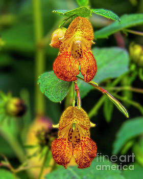 Barbara Bowen - Double shot of Jewelweed